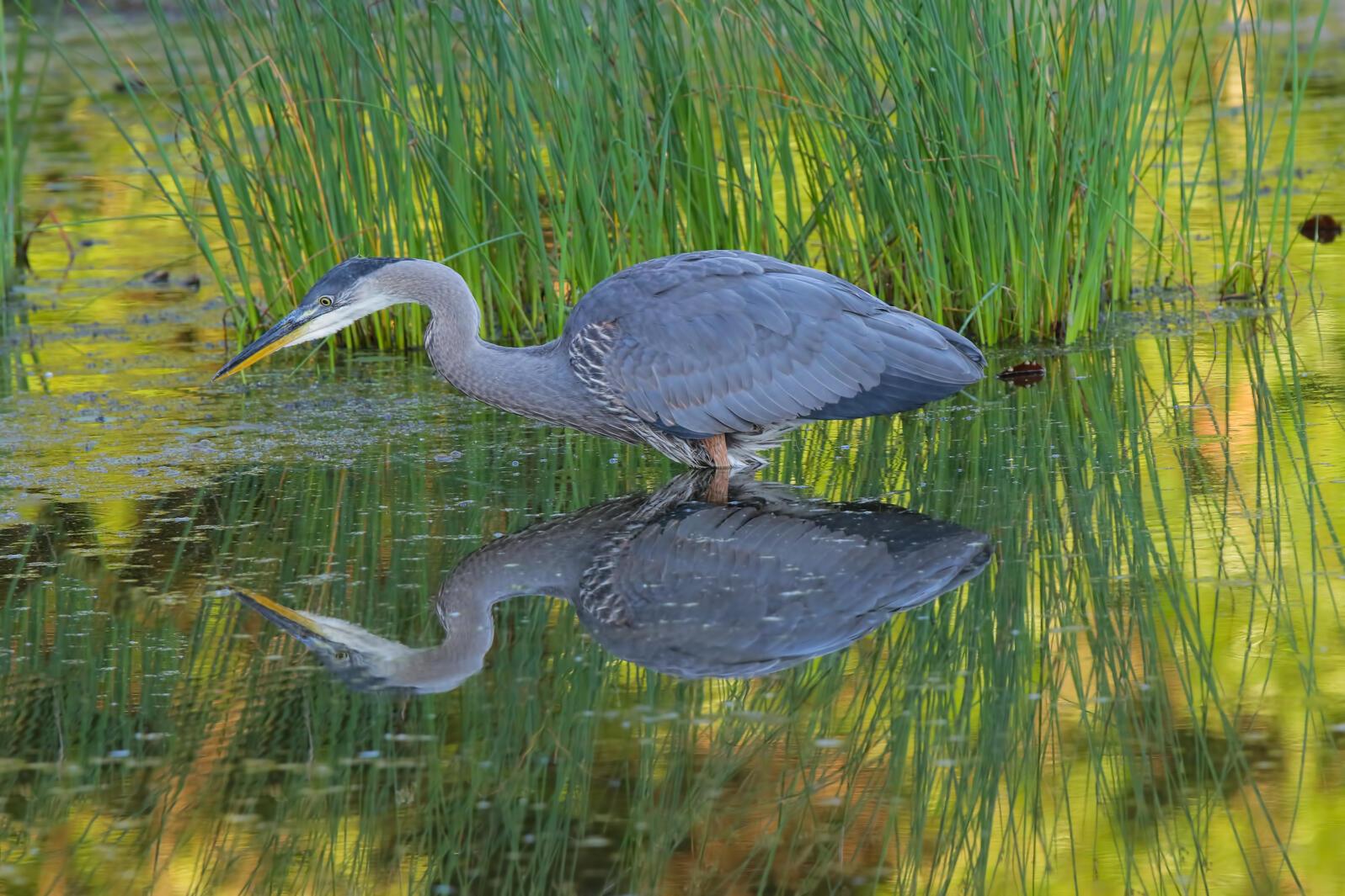 Great Blue Heron. Photo: Madeline Poster/Audubon Photography Awards