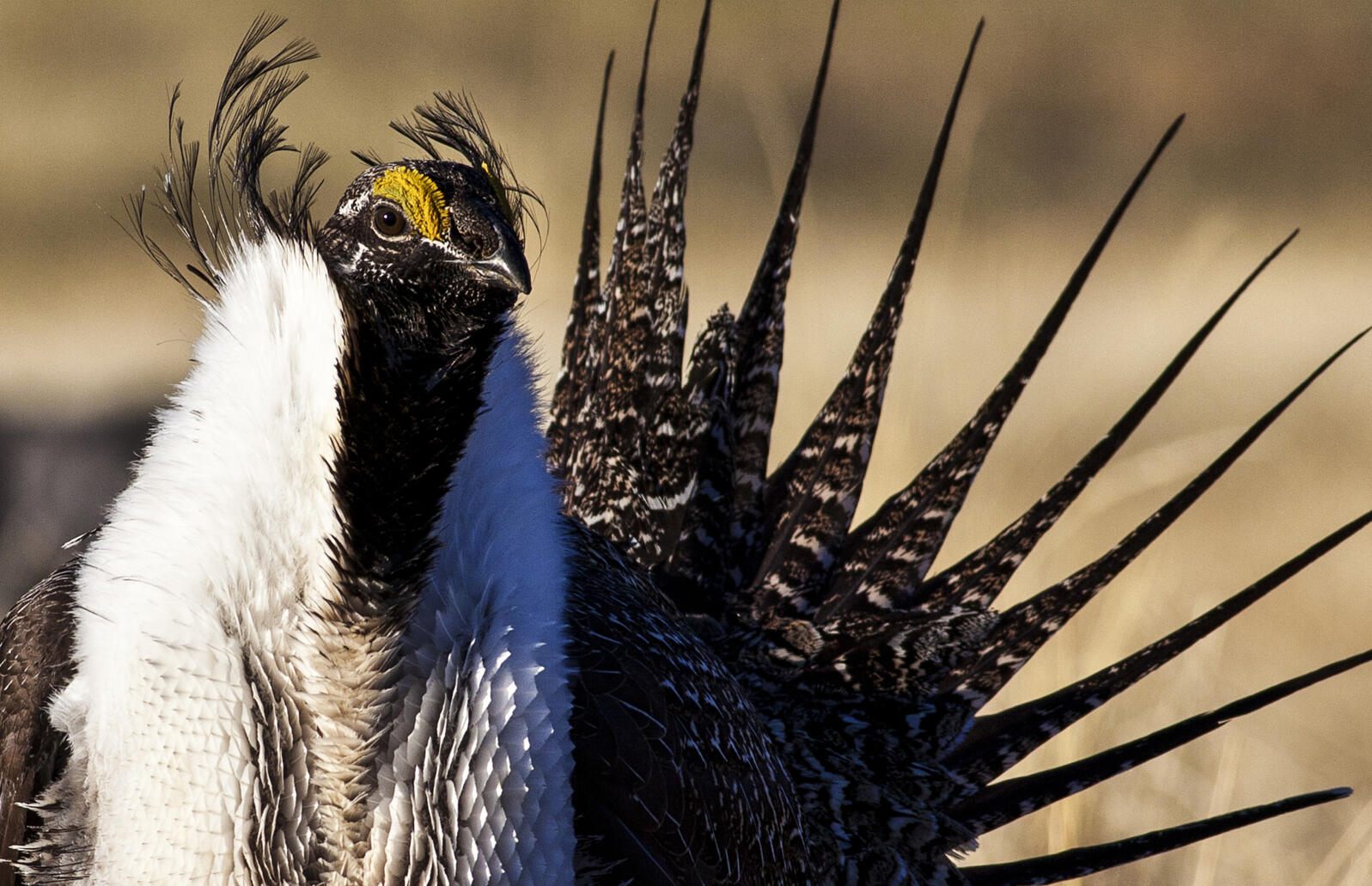 Close up photo of a Greater Sage-Grouse. We are working to keep a harmful rider that would impact efforts to save Greater Sage-Grouse out of the final defense bill. Bob Wick/BLM