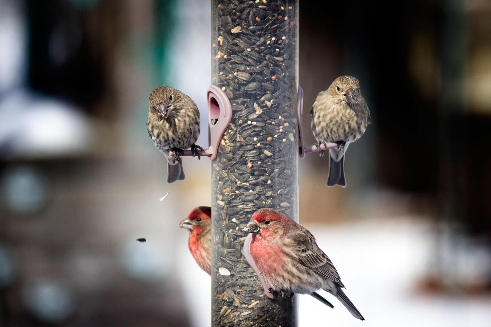 House Finches. Jennifer Lint/Great Backyard Bird Count
