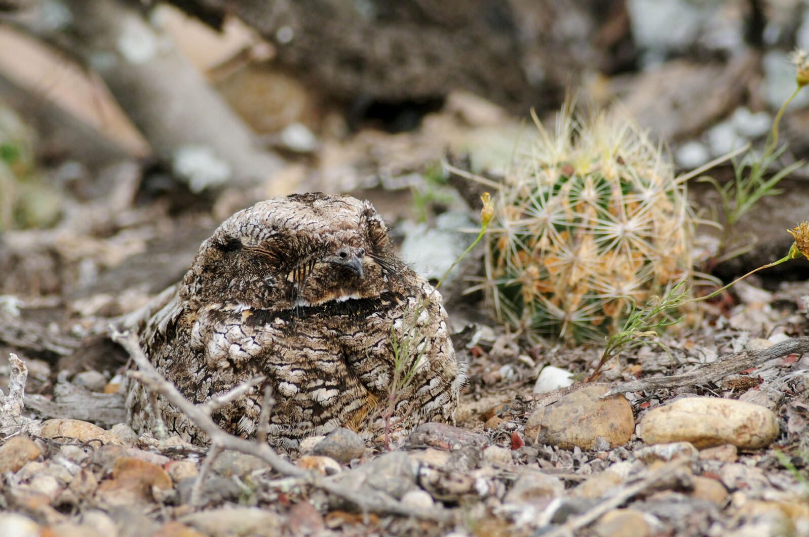 Common Poorwill. Nature Picture Library/Alamy