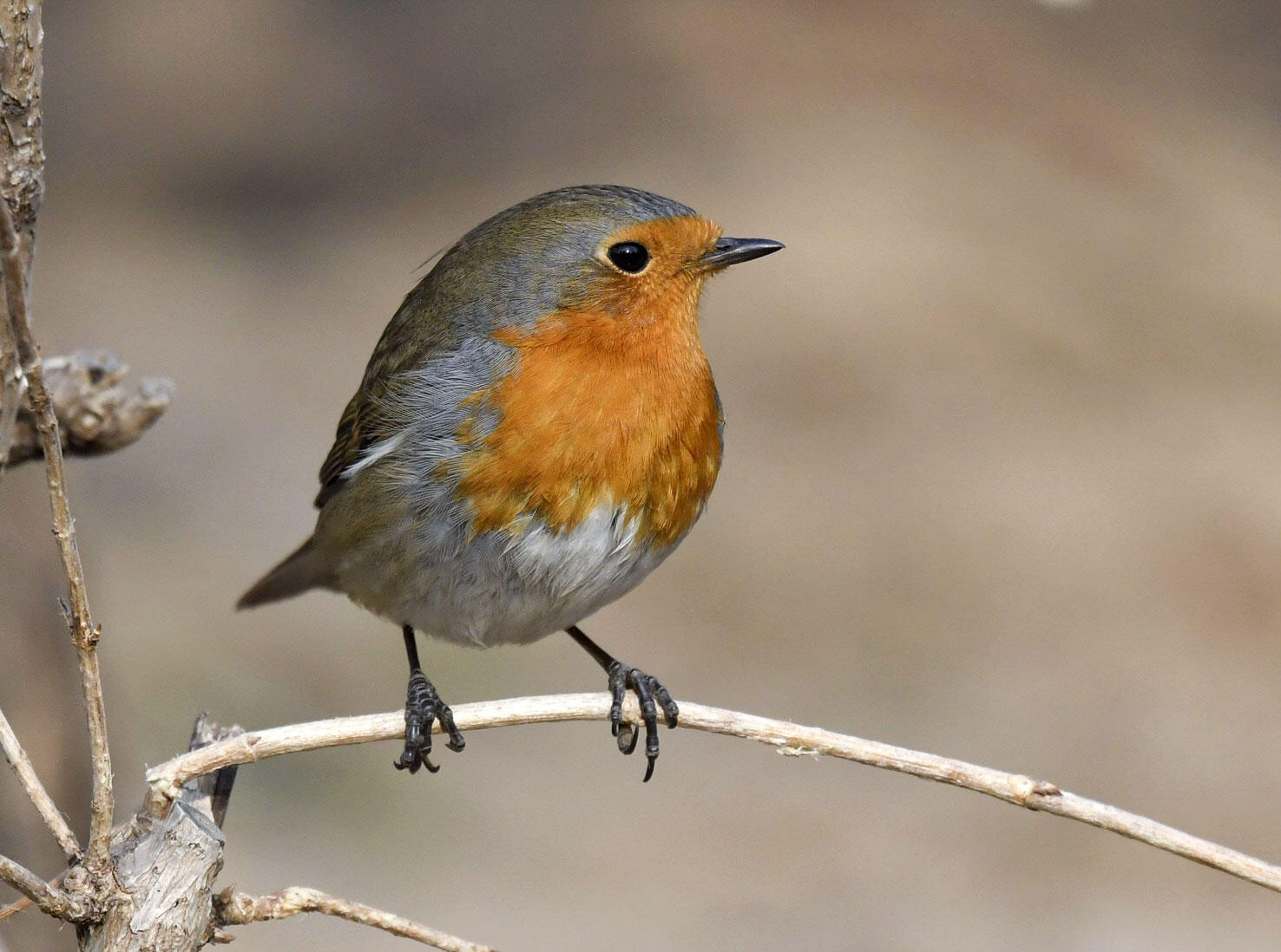 A European Robin, far outside its normal range, poses for admirers in Beijing. Zhang Xiaoling