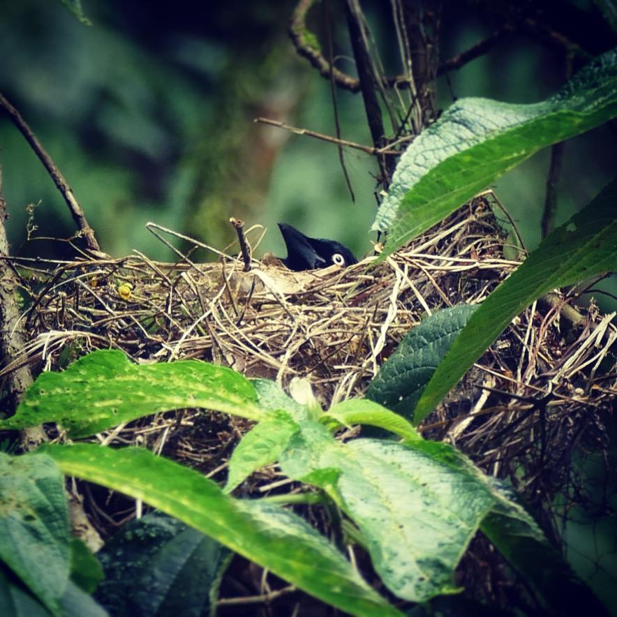 A Red-bellied Grackle peers over the edge of its nest at La Romera near Medellin. Noah Strycker