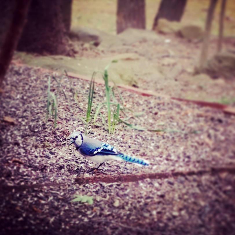 Blue Jay. Laura June