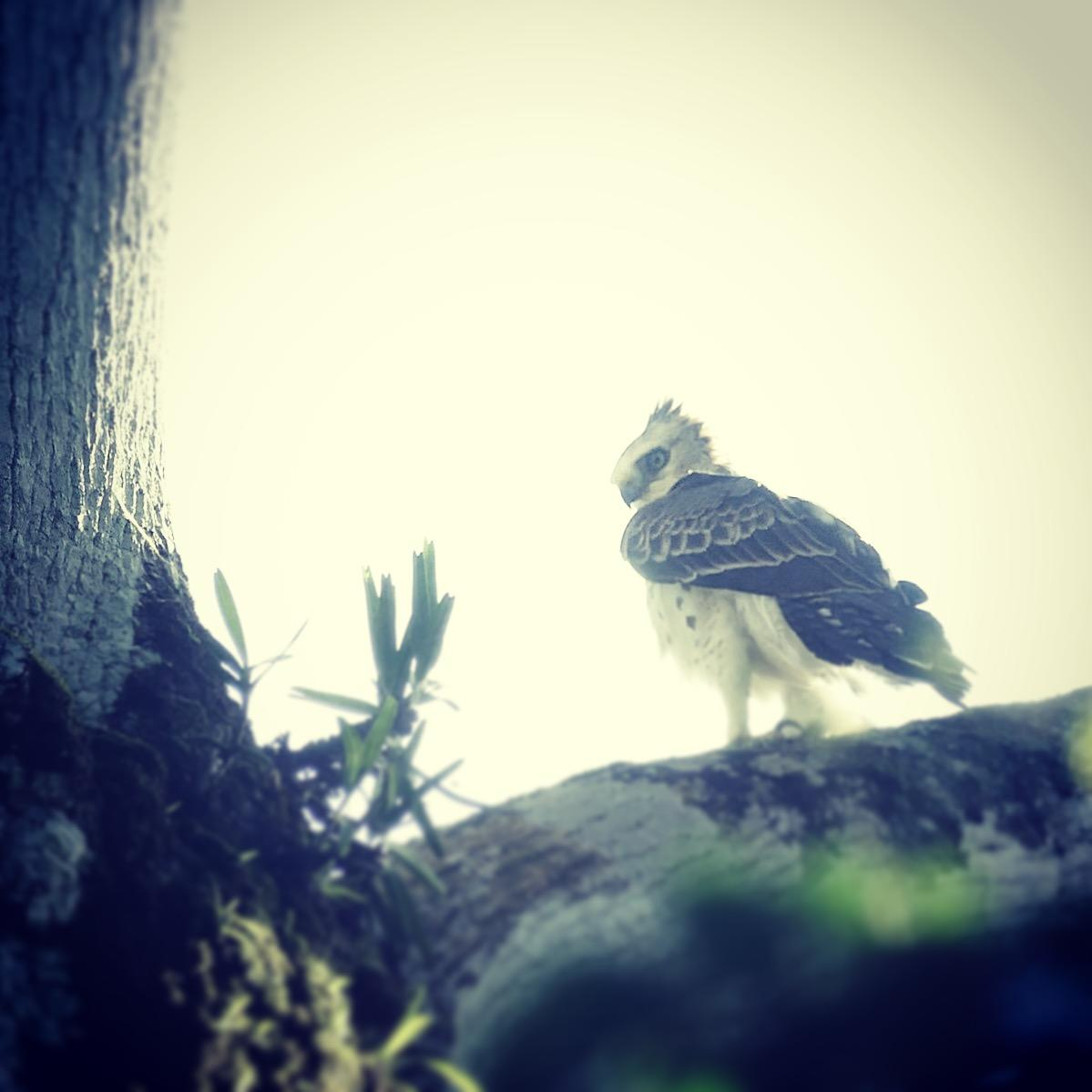 Noah's view of an Ayres's Hawk-Eagle at the Atewa forest reserve. Noah Strycker