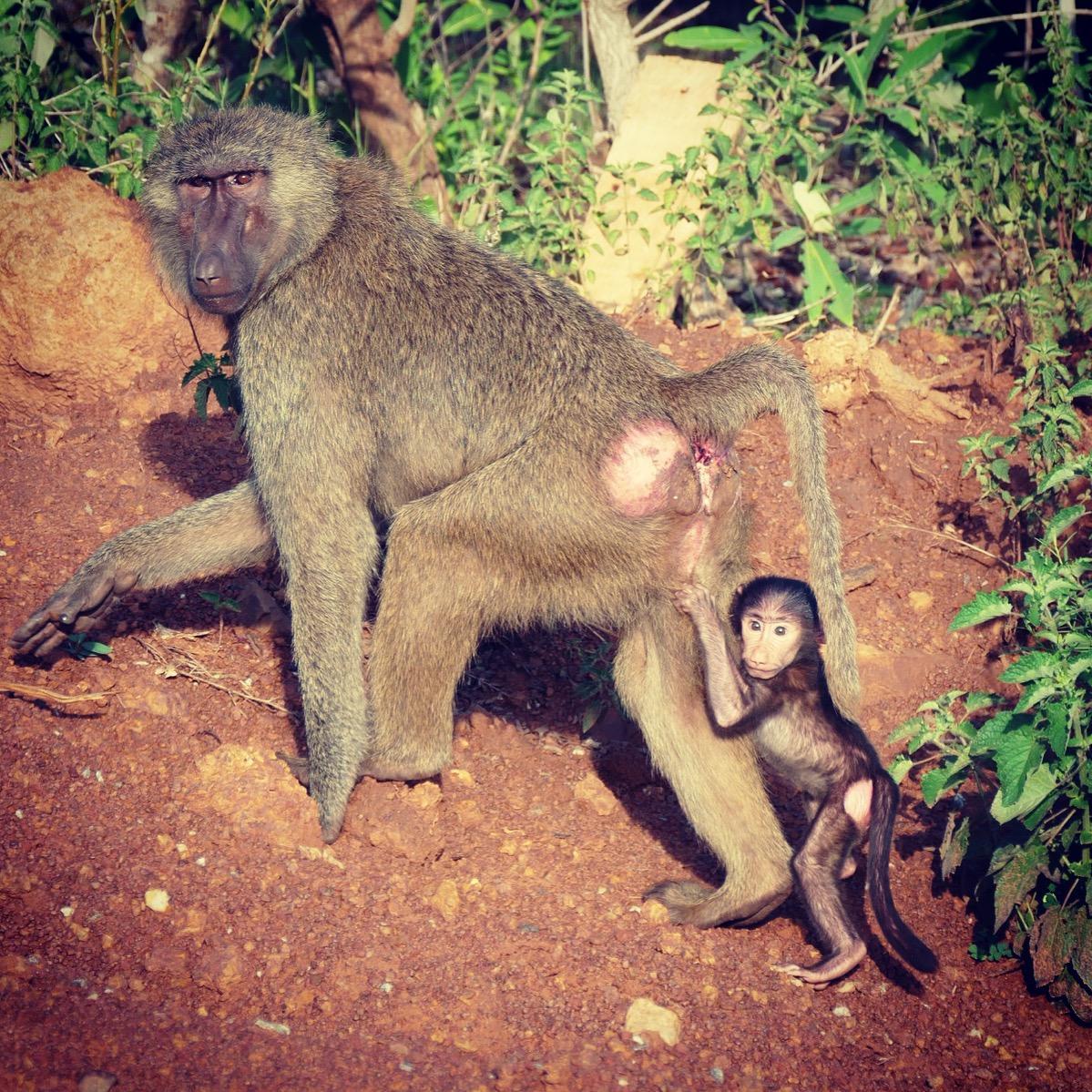 Noah's view of a baboon with baby at Mole National Park. Noah Strycker