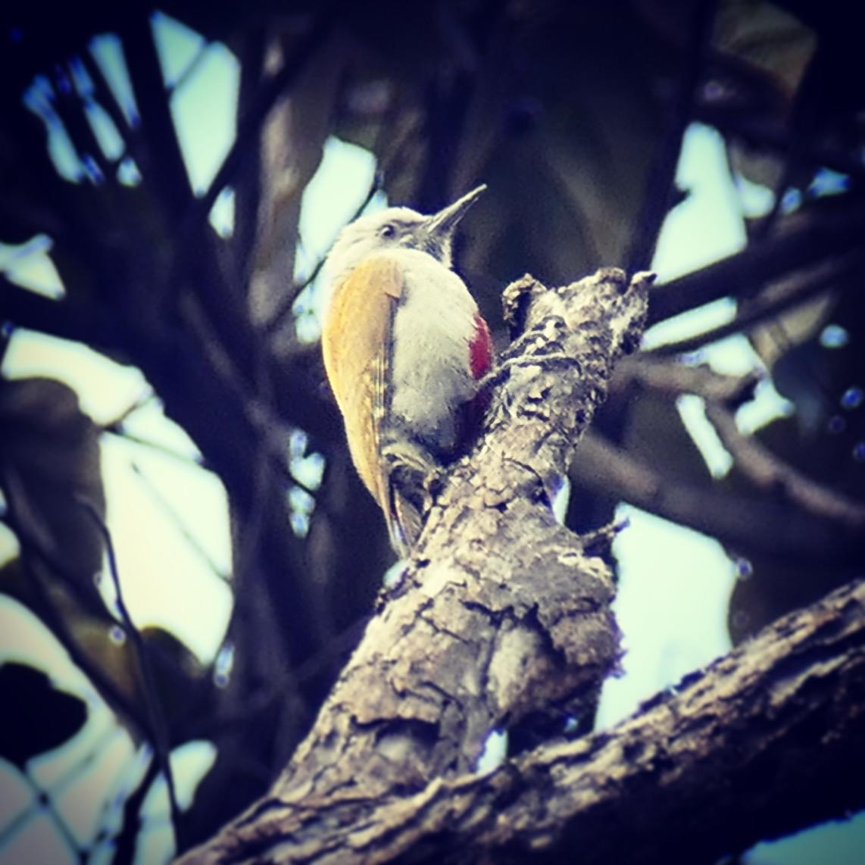 Noah's distant view of his 4,000th year bird, a Mountain Gray Woodpecker near Arusha, Tanzania. Noah Strycker