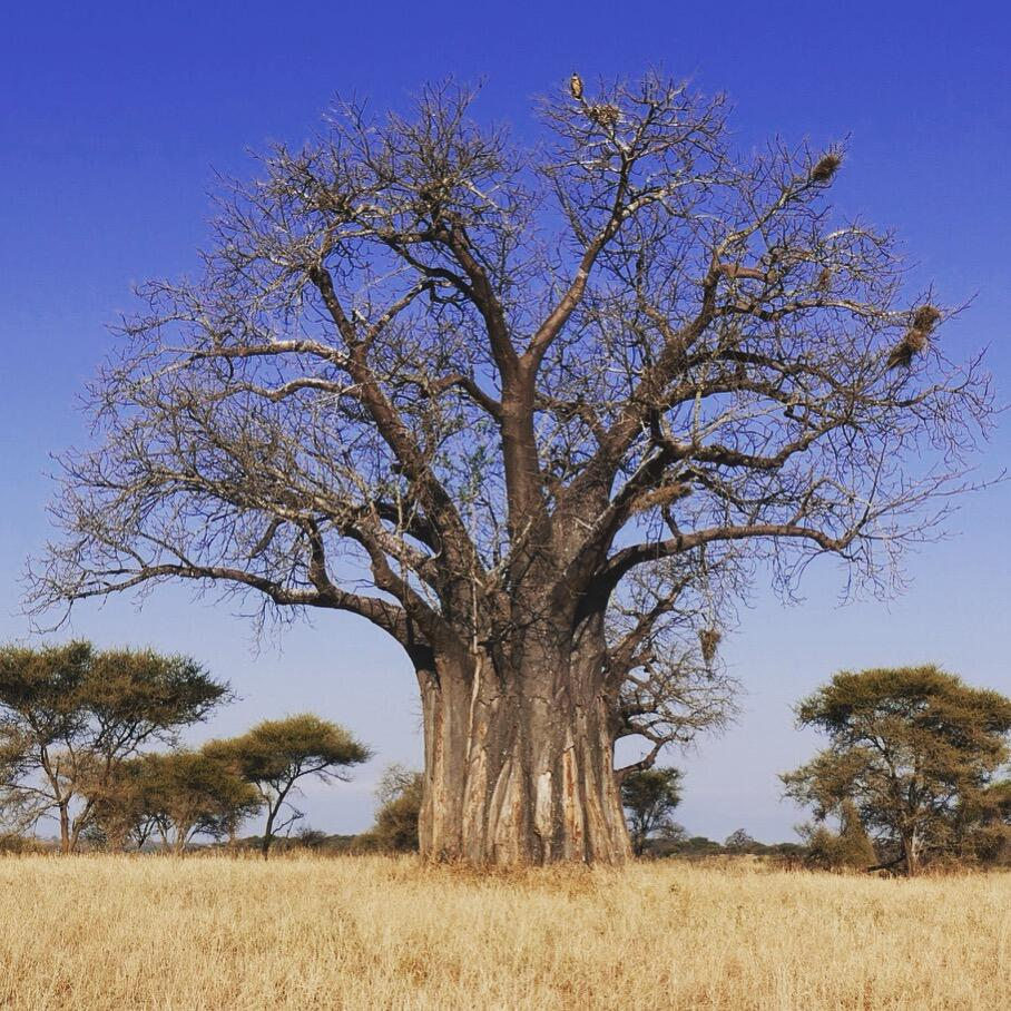 Almost all of the baobab trees at Tarangire are between 500 and 900 years old. Noah Strycker