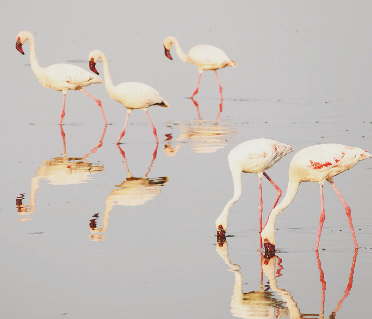 Lesser Flamingos gather at a soda lake at the edge of Serengeti National Park. Noah Strycker