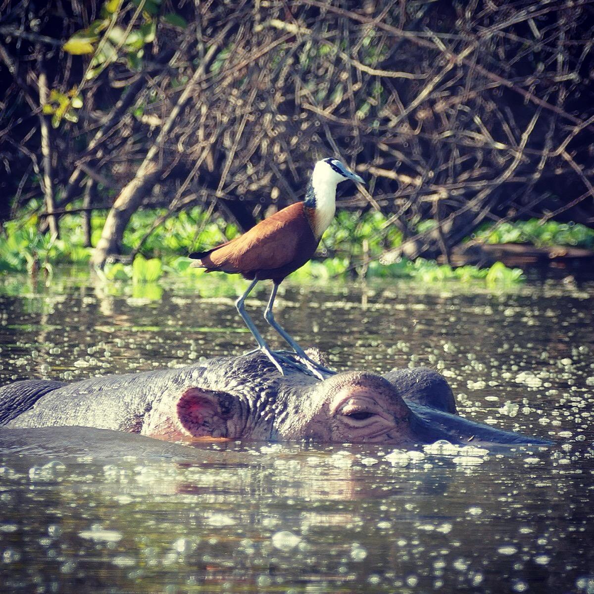 An African Jacana perches on top of a hippo's head at Lake Mburo. Noah Strycker