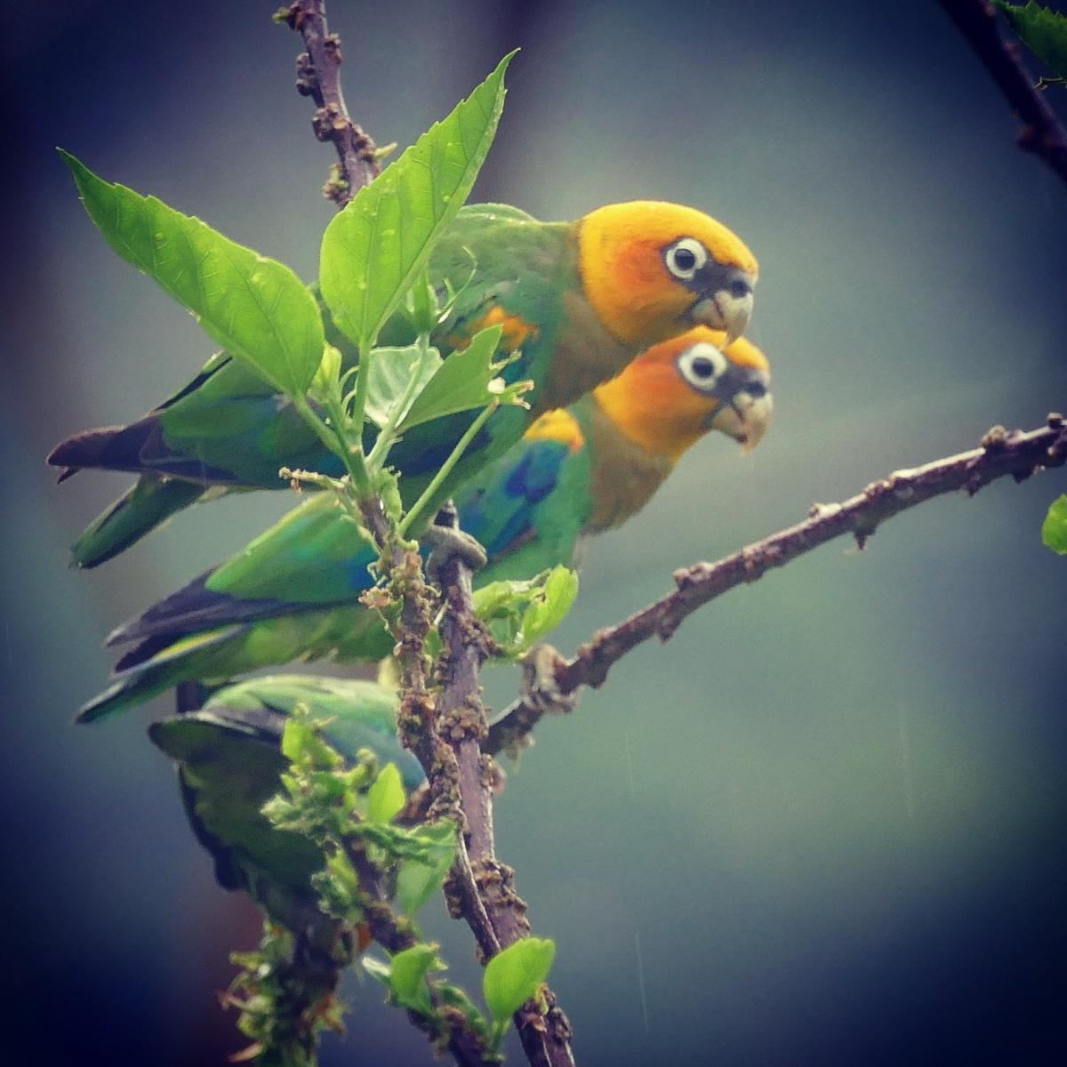 Noah's view of Saffron-headed Parrots at Pauxi Pauxi Reserve, Colombia. Noah Strycker
