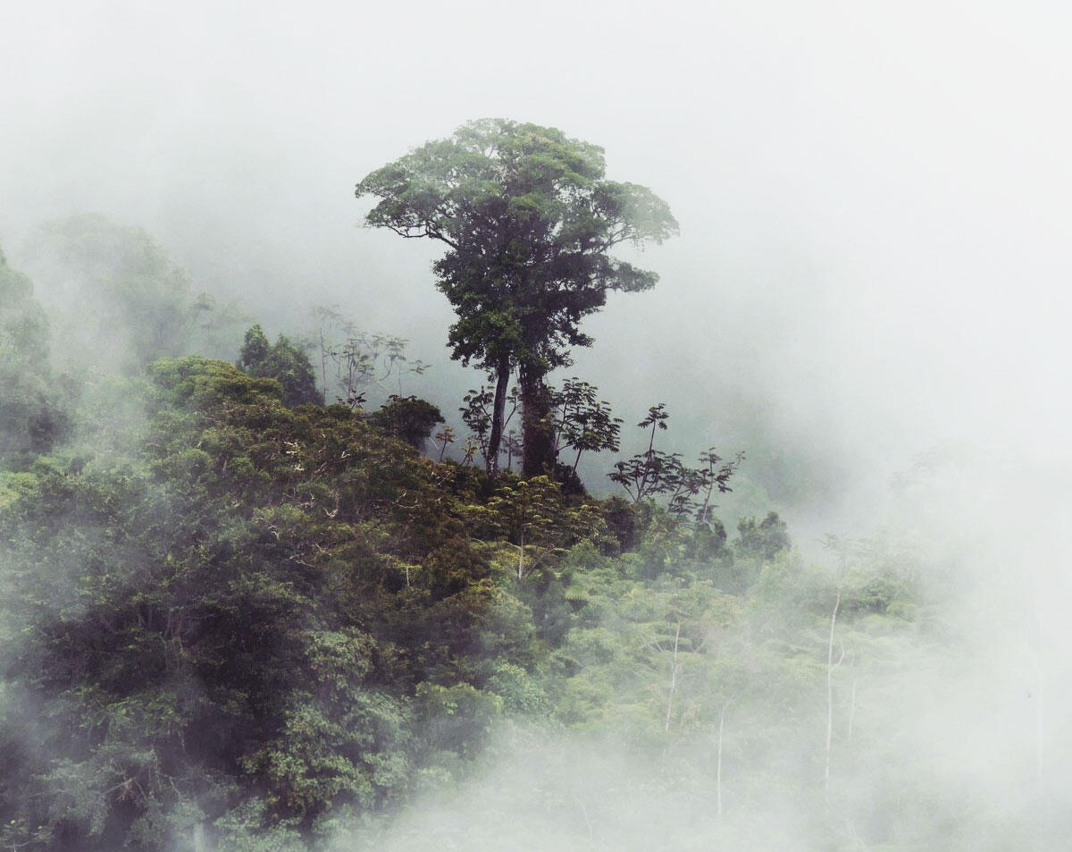A large tree emerges through a break in the clouds at the Cerulean Warbler Reserve, Colombia. Noah Strycker
