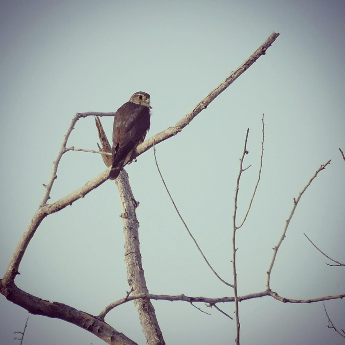 Noah's first Merlin of the year perches on a snag in La Guajira, Colombia. Noah Strycker