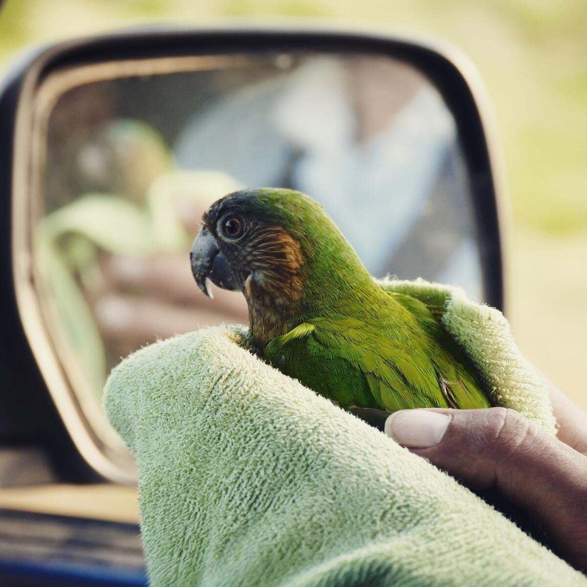 The Brown-throated Parakeet takes in the view on the way to Salamanca, Colombia. Noah Strycker