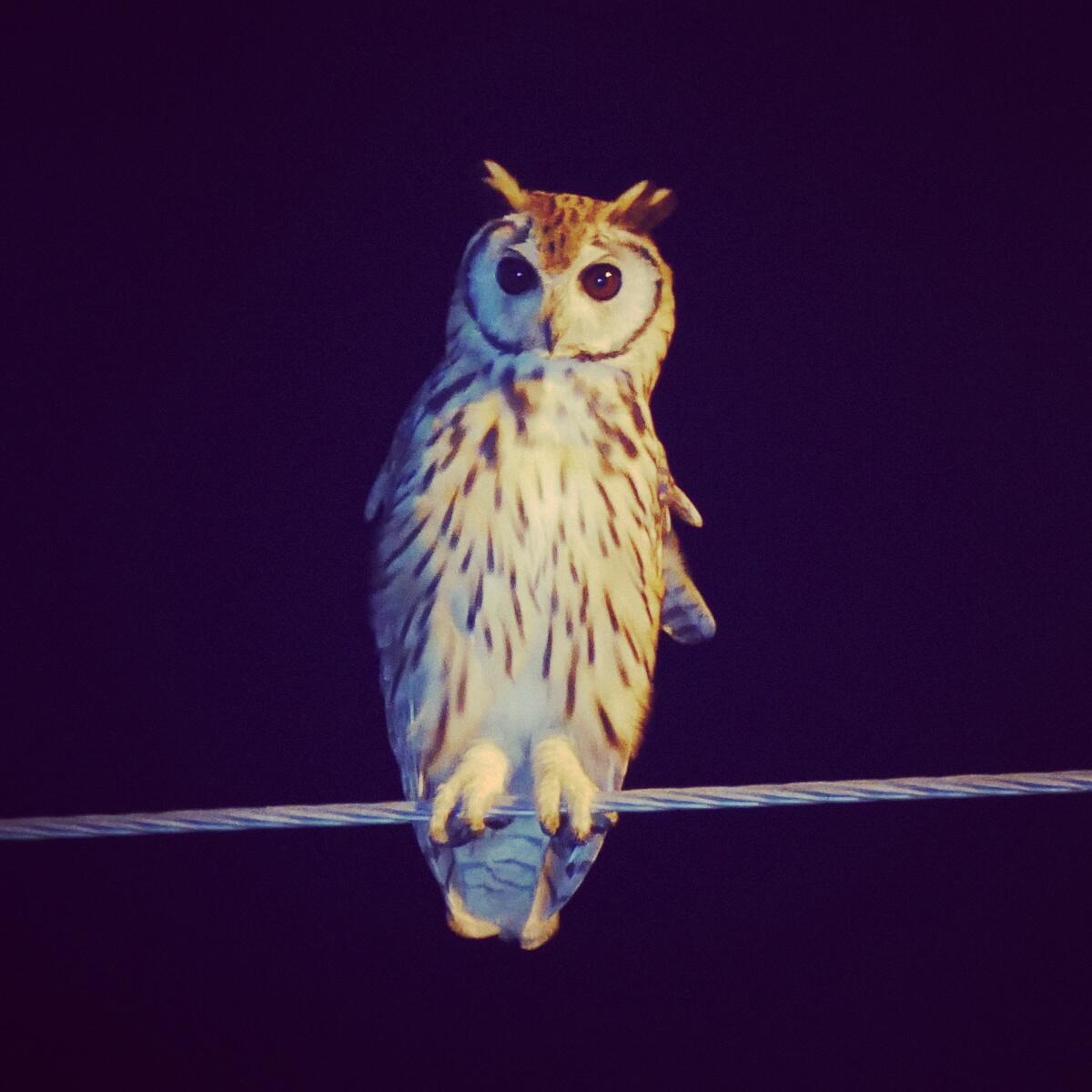 A Striped Owl hunts from a power line near Quepos. Noah Strycker