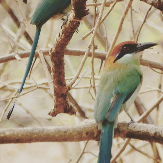 Noah's view of a pair of Russet-crowned Motmots in Guatemala's thorn forest. Noah Strycker