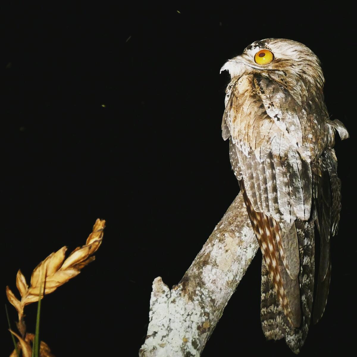A wild-eyed Northern Potoo perches after dark near San Blas. Noah Strycker