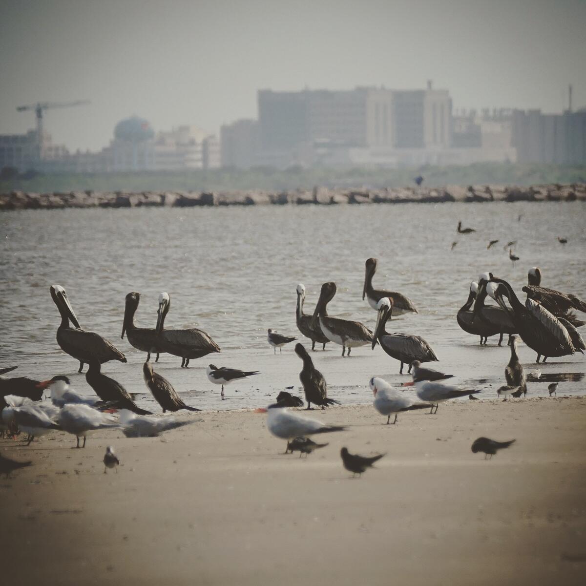 Pelicans, gulls, and shorebirds gather at Bolivar Flats. Noah Strycker