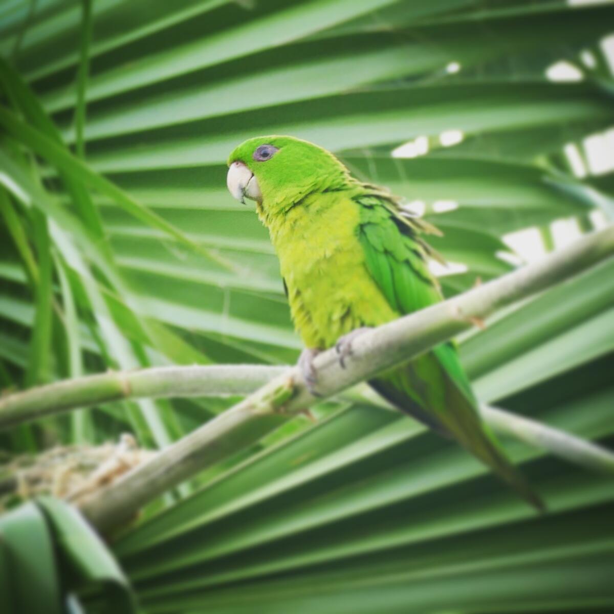 Noah's view of a Green Parakeet in Weslaco. Noah Strycker