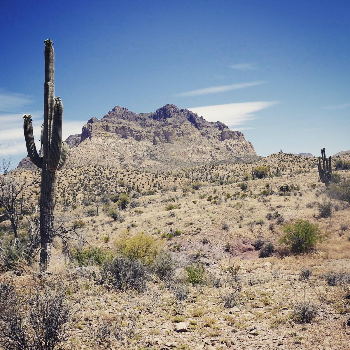 Saguaro cacti dominate the Sonoran desert landscape. Noah Strycker