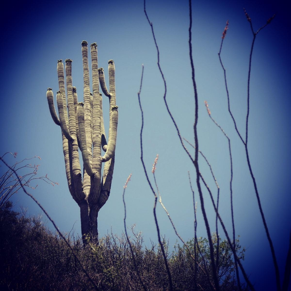 A Saguaro cactus is framed by ocotillo plants in California Gulch. Noah Strycker