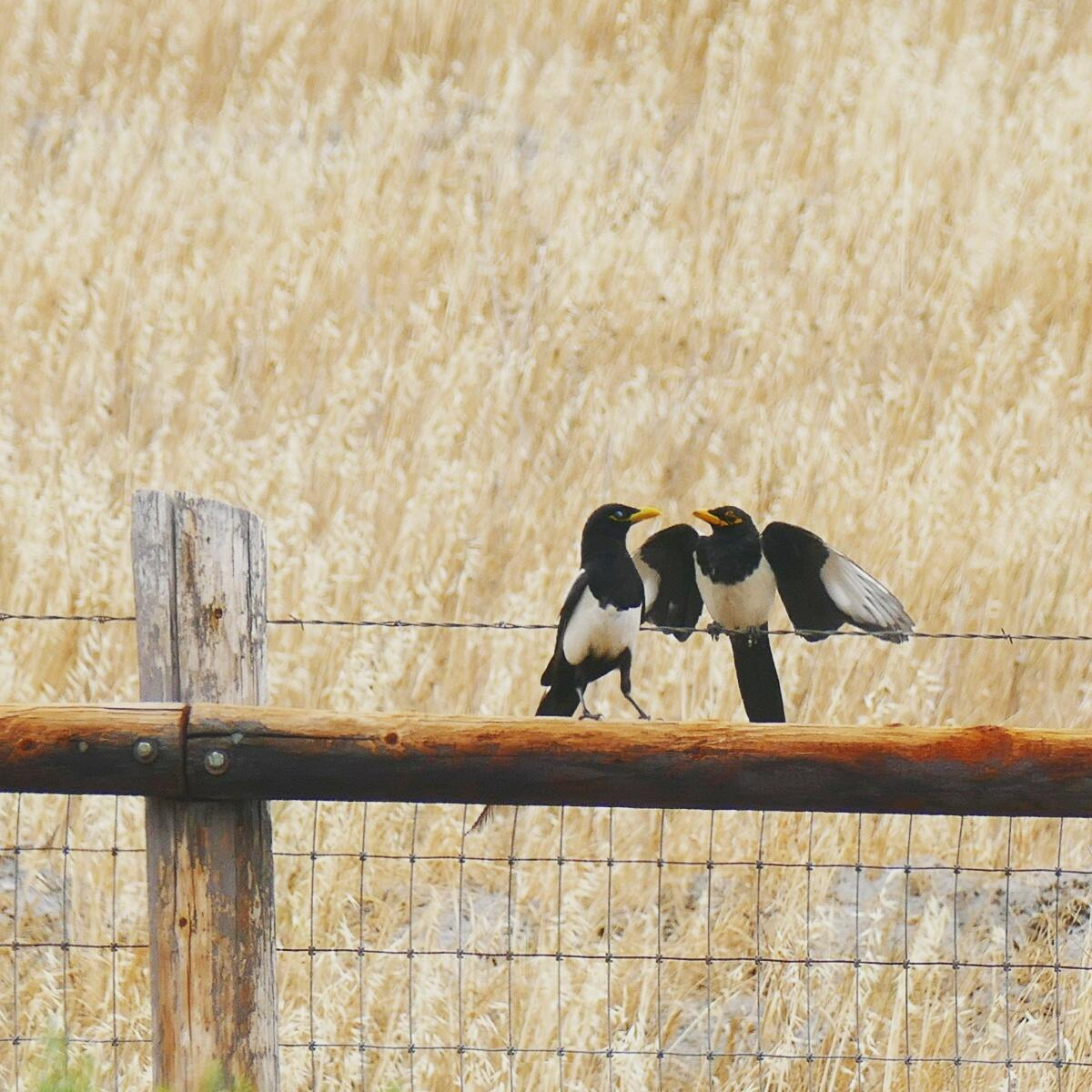 Noah's view of a pair of Yellow-billed Magpies along California's Highway 101. Noah Strycker