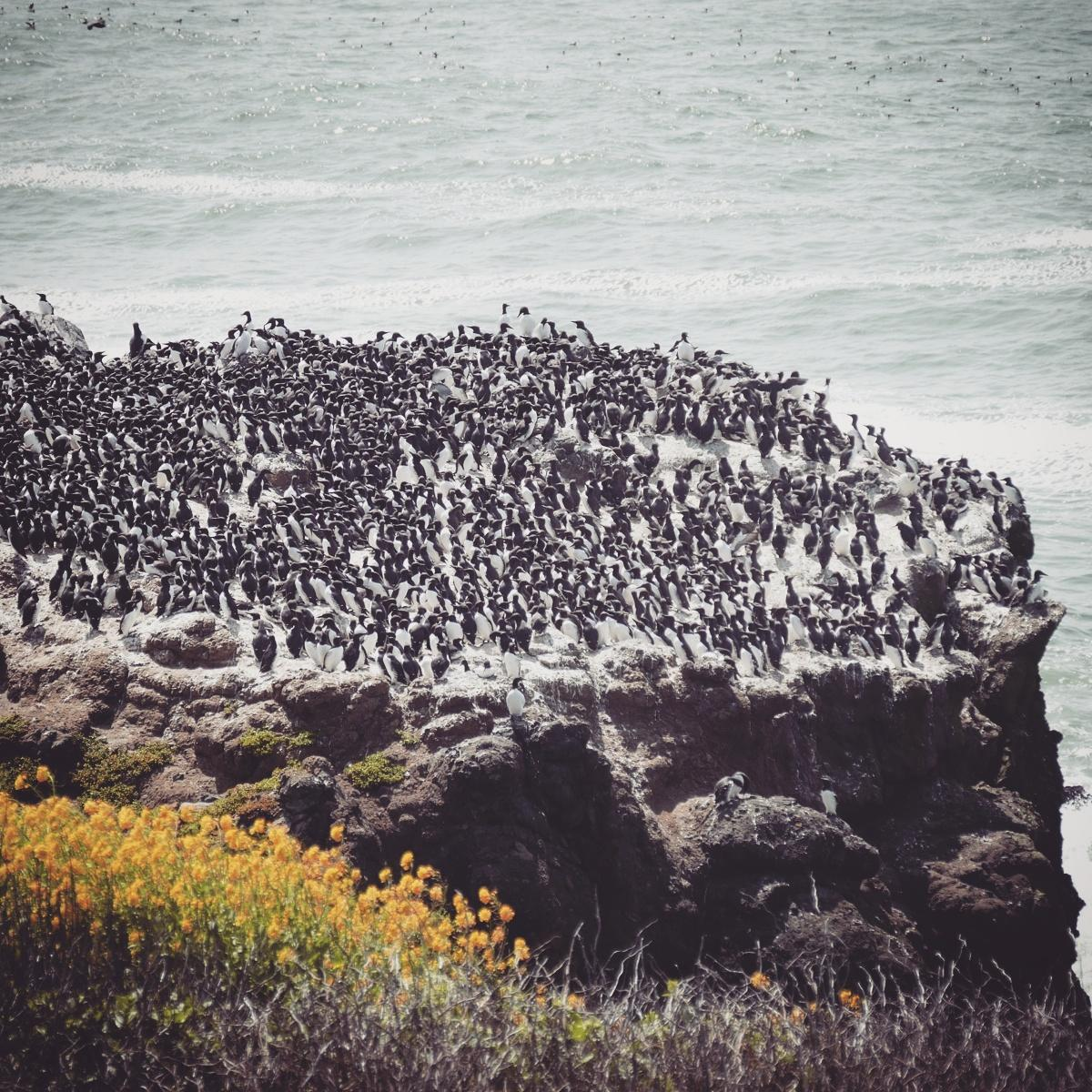 Thousands of nesting Common Murres crowd a rock at Yaquina Head. Noah Strycker