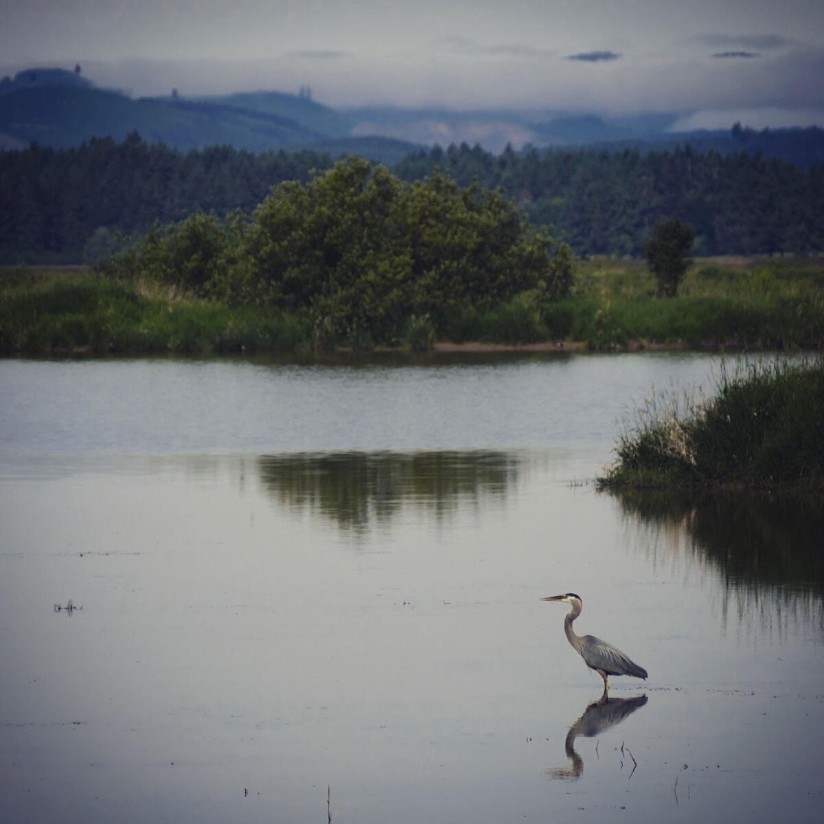 A Great Blue Heron pauses at Fern Ridge Reservoir. Noah Strycker