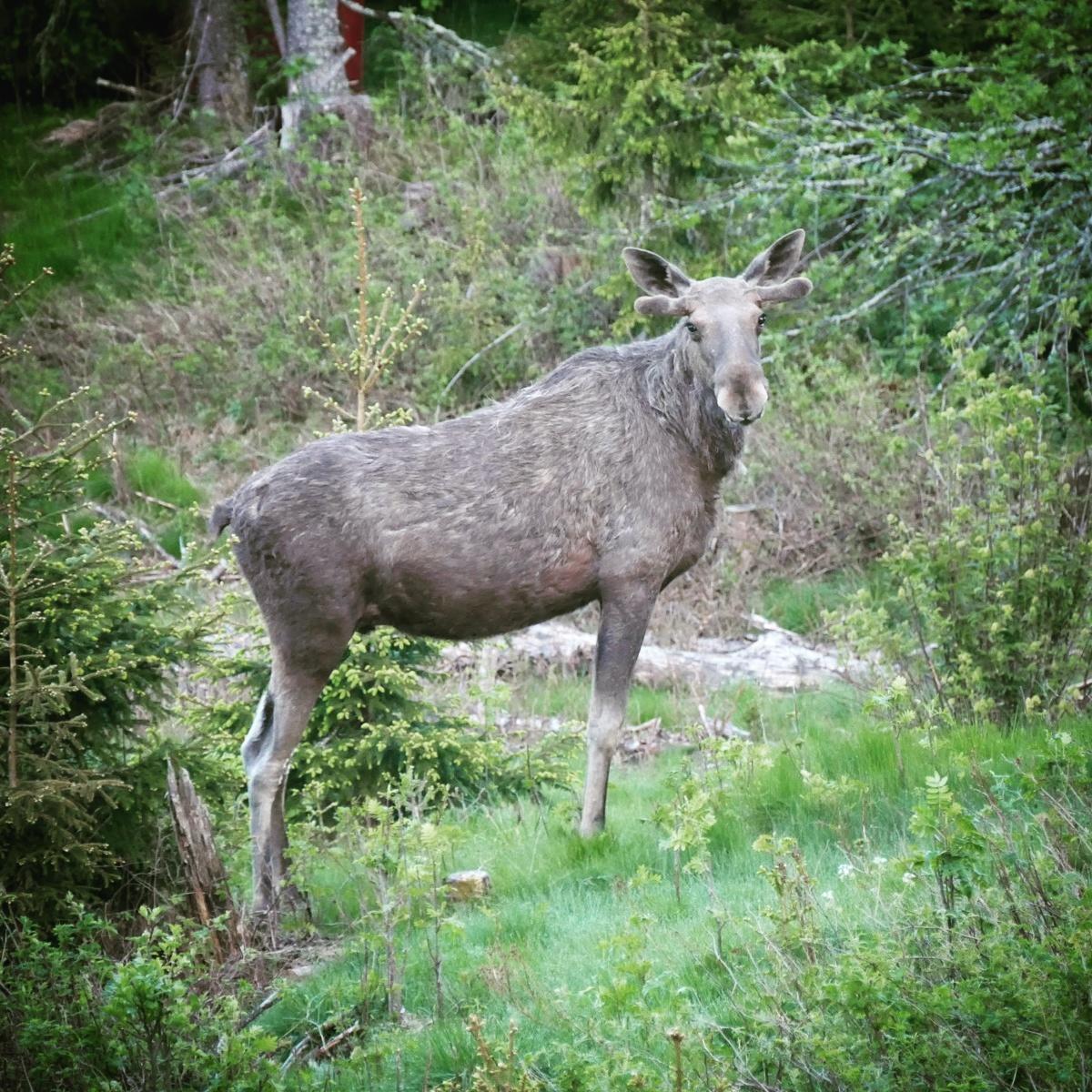 A Norwegian moose stares at Noah. Noah Strycker
