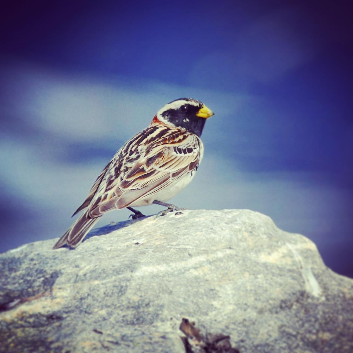 Noah's view of a Lapland Longspur in the Norwegian mountains. Noah Strycker