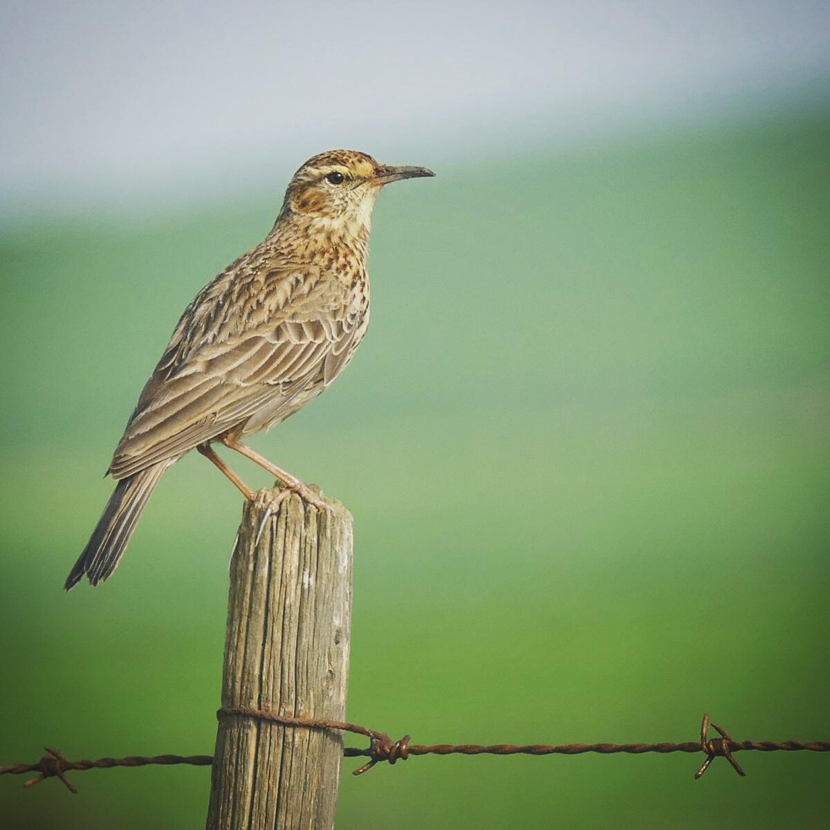 Noah's view of an Agulhas Lark, a super-endemic bird found only on the Agulhas Plains of South Africa's Western Cape province. Noah Strycker
