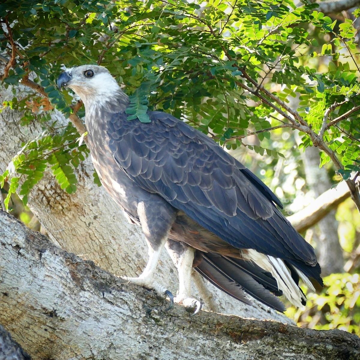 The Madagascar Fish-Eagle is one of the world's most threatened raptors. Noah Strycker