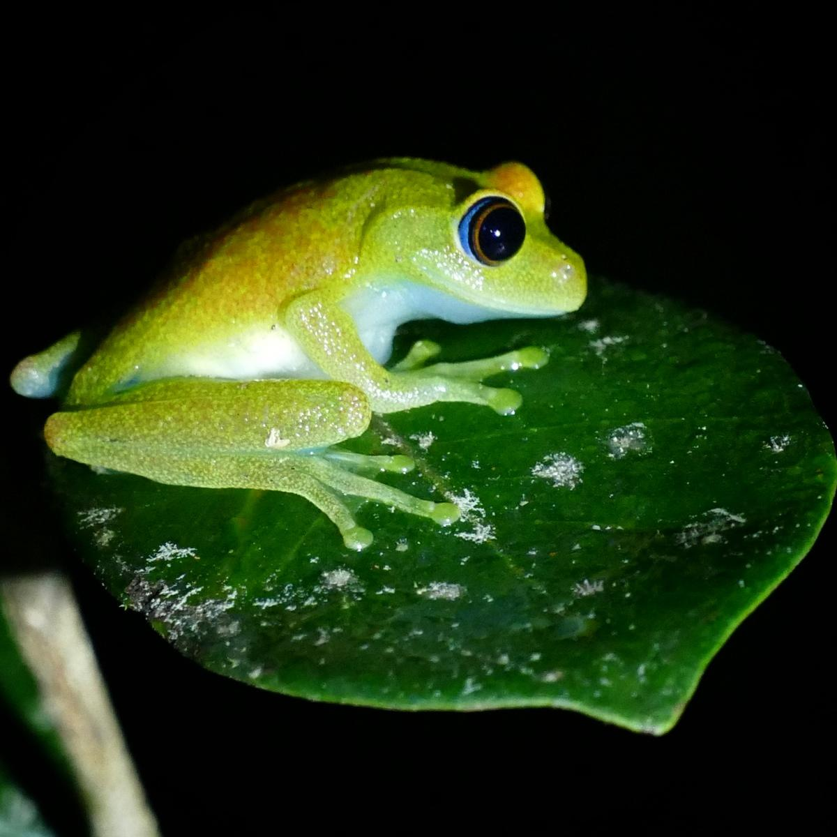 A tree frog ventures out after dark in Andasibe. Noah Strycker