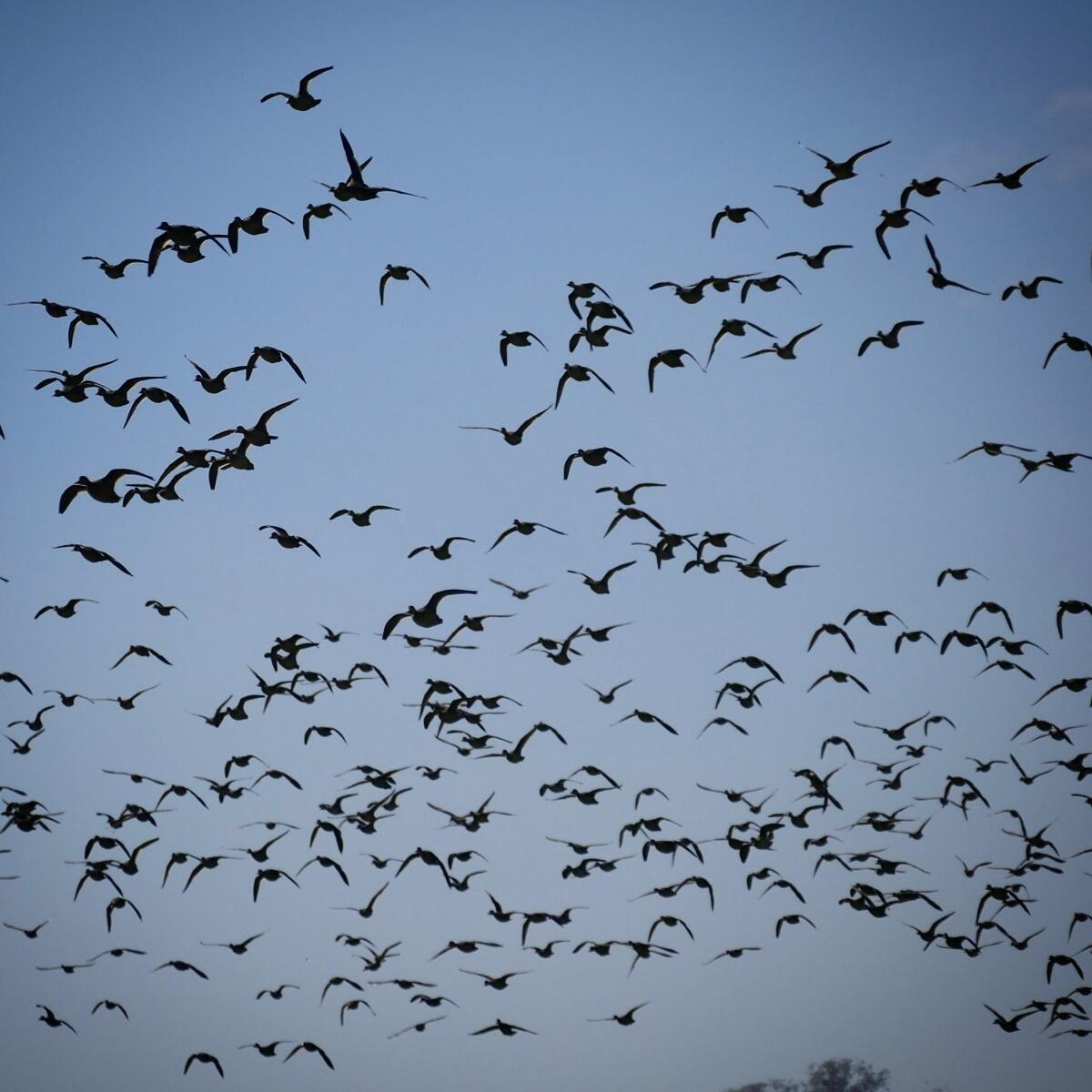 Hundreds of Red-billed Ducks fly over an urban Antananarivo park. Noah Strycker