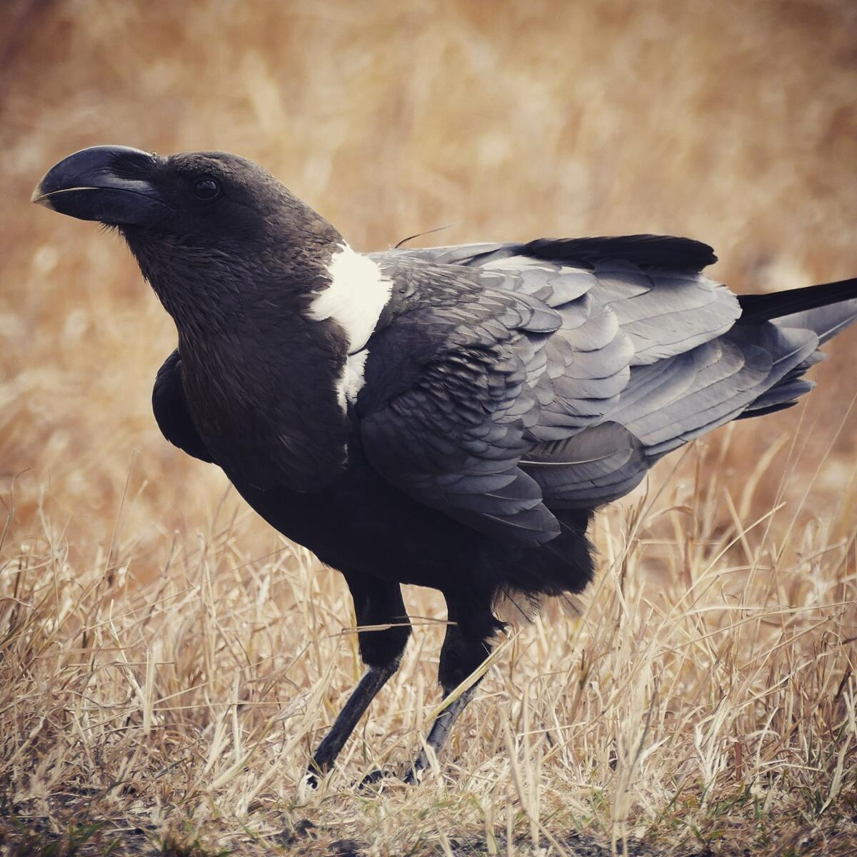 White-necked Raven east of Arusha. Noah Strycker