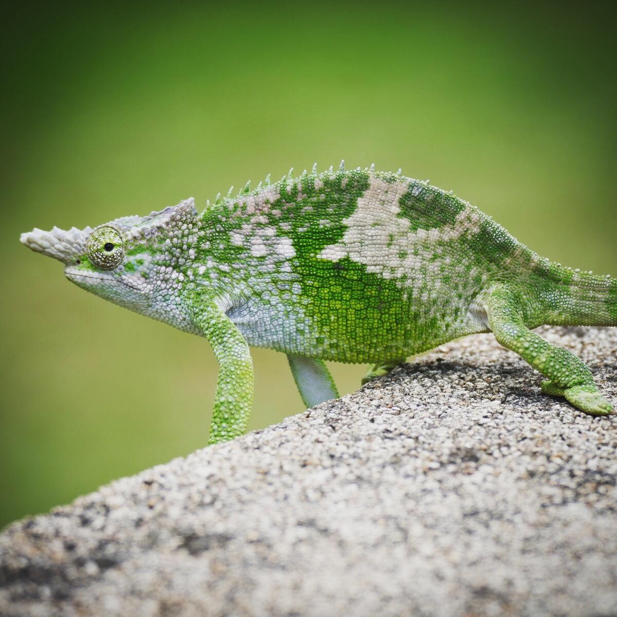 An endemic two-horned chameleon pauses at the Mullers Mountain Lodge. Noah Strycker