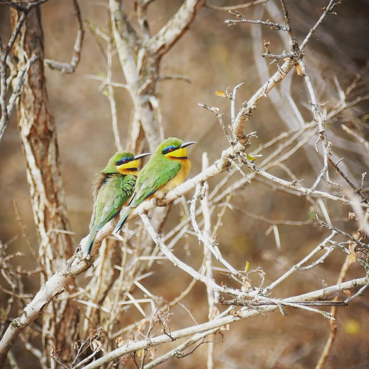 A pair of Little Bee-Eaters perches at Mkomazi National Park. Noah Strycker