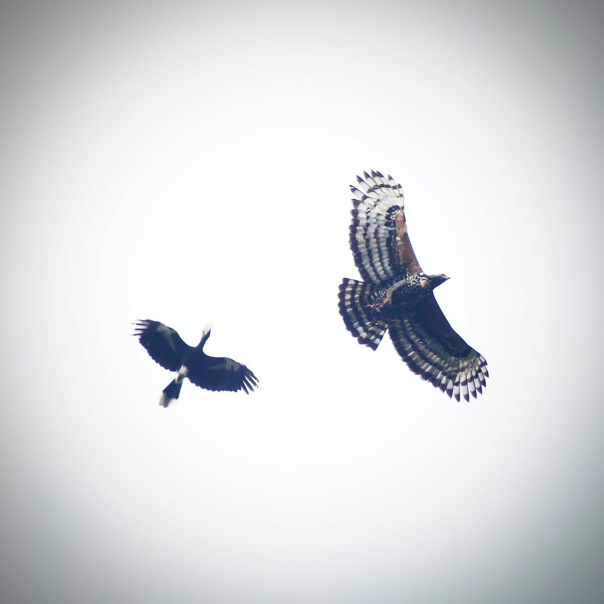 Silvery-cheeked Hornbill swooping toward a Crowned Hawk-Eagle. Noah Strycker