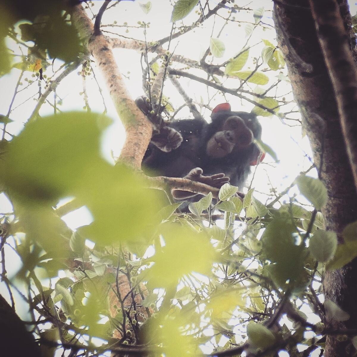 Chimpanzee in Uganda's Budongo Forest. Noah Strycker