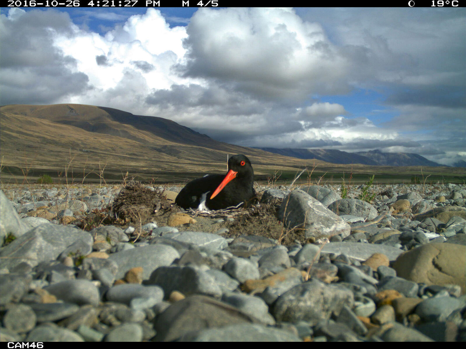 South Island Pied Oystercatcher sitting on its nest. Manaaki Whenua Landcare Research