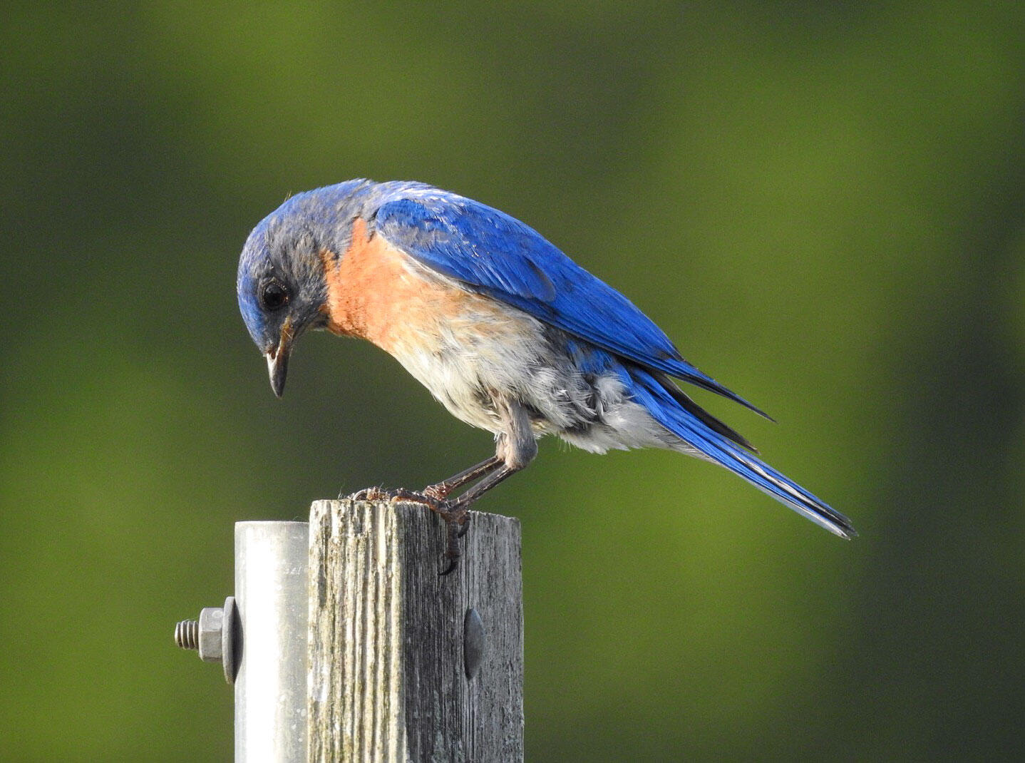 """An Eastern Bluebird on """"the Loop"""" in central Ohio. But can it be convinced to nest in the neighborhood? Katelyn Shelton"""