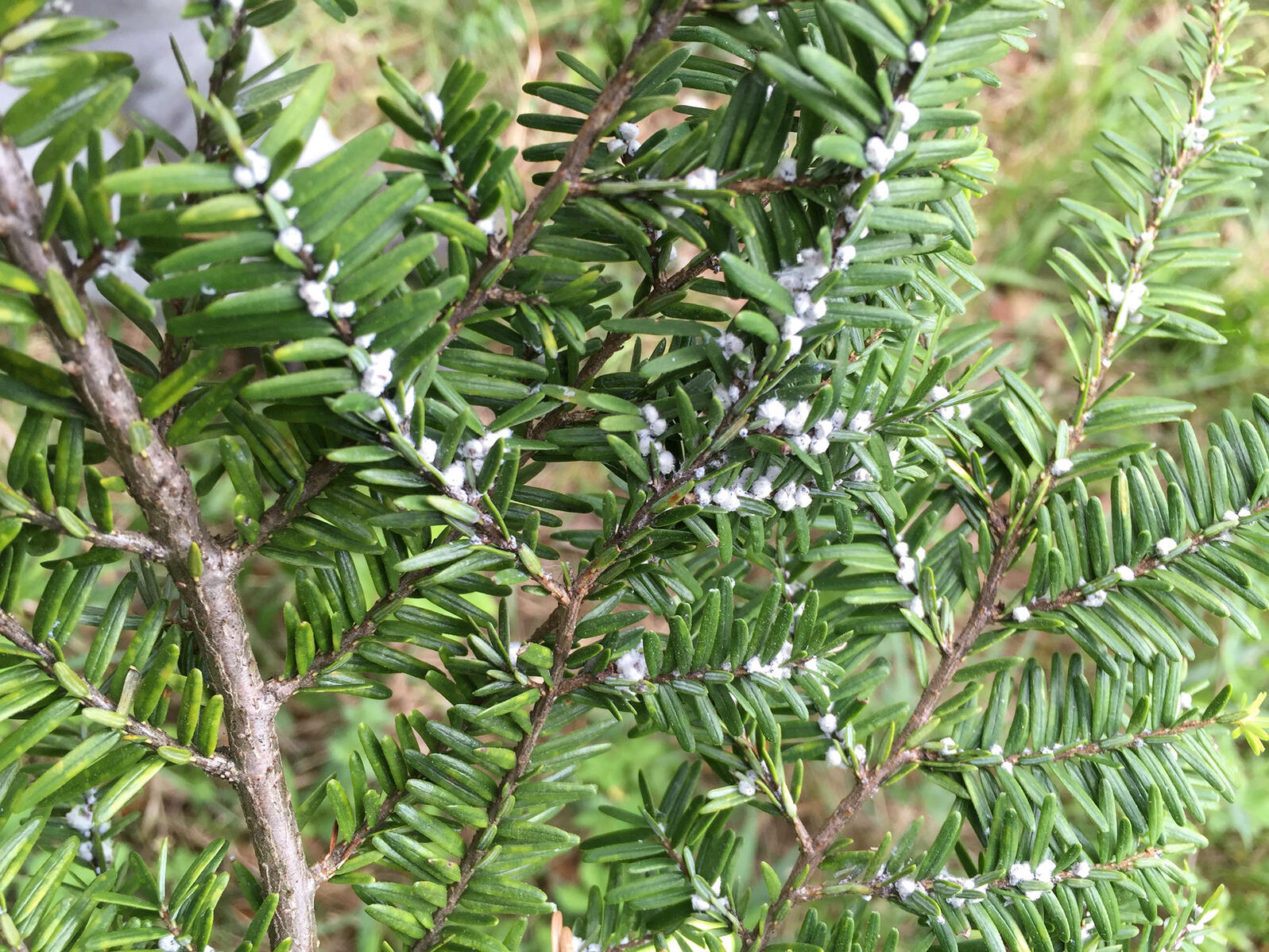 Eggs of the hemlock woody adelgid cloak a host tree in Connecticut. The insect's range has slowly been expanding in the Eastern United States, and there may be a few different culprits behind it. Morgan Tingley