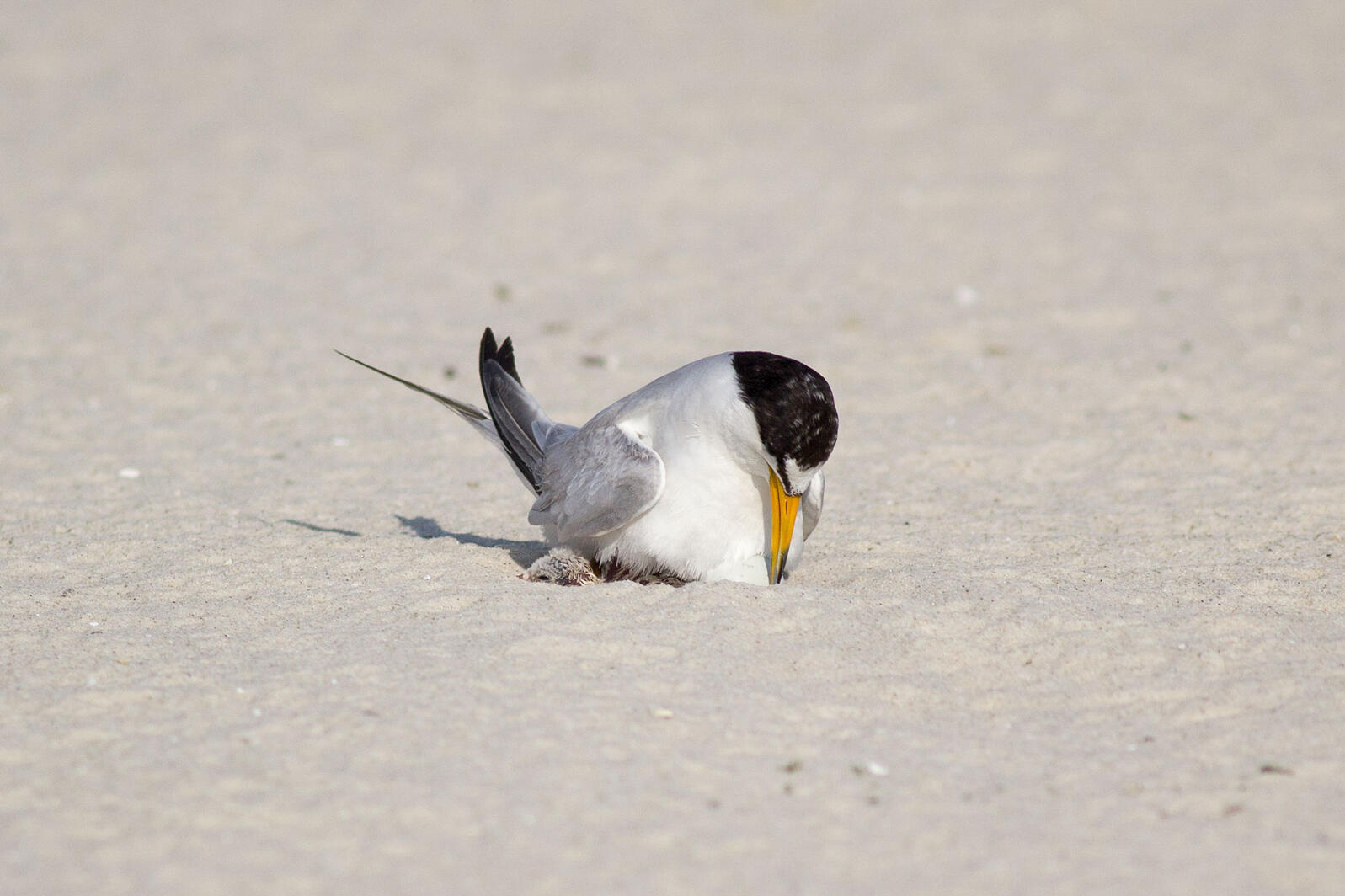 Least Tern tending to a newly hatched chick. Katie Barnes/Birmingham Audubon