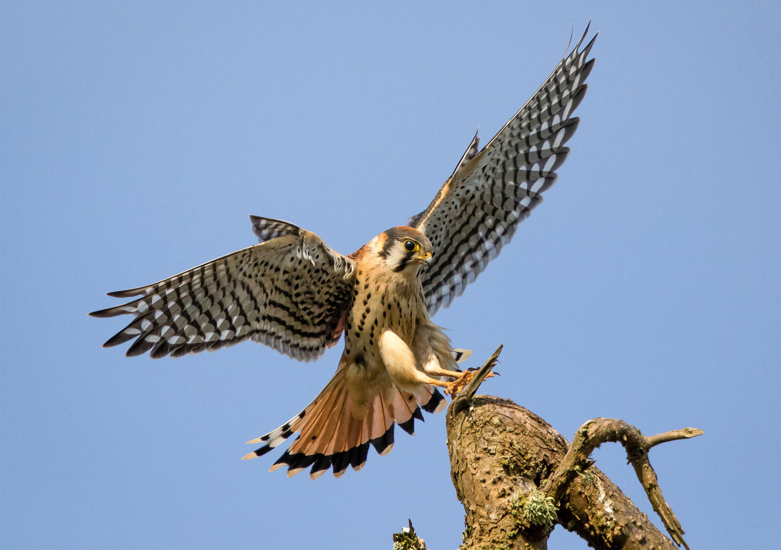 Photograph of an American Kestrel landing on a branch. The Migratory Bird Treaty Act protects more than 1,000 species of birds, including American Kestrels. Sylvia Hunt/Audubon Photography Awards