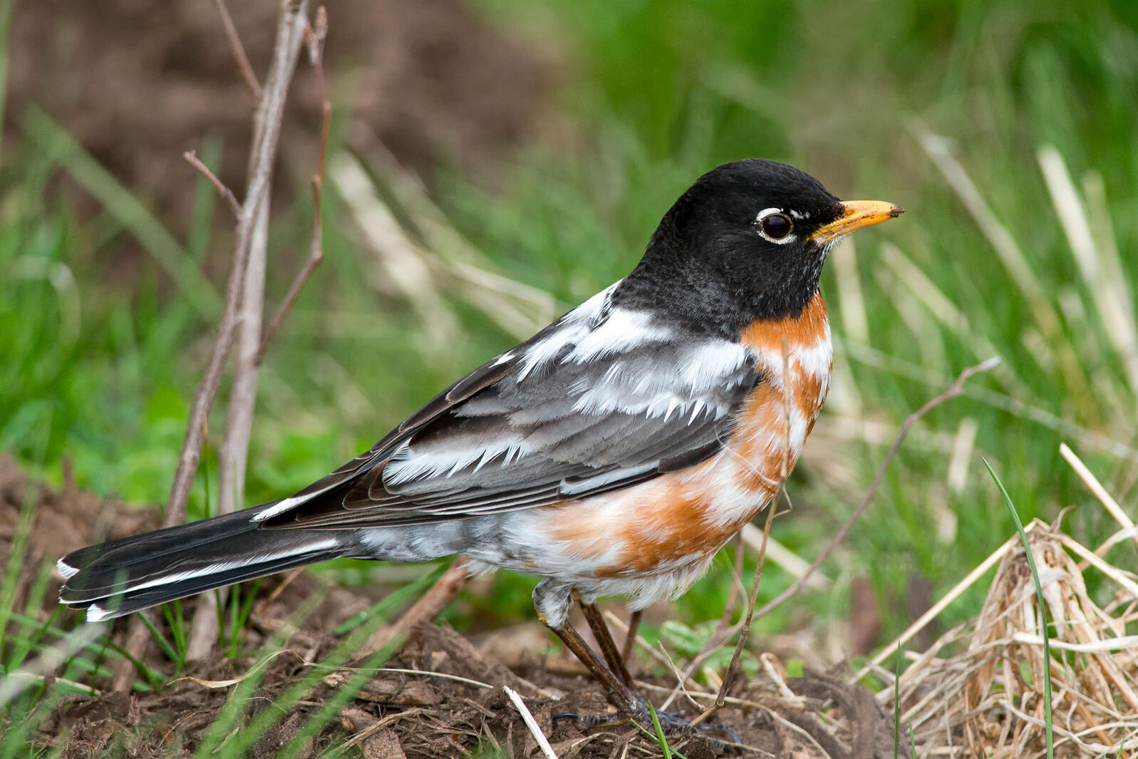 American Robin with leucism. Paul Reeves Photography/iStock