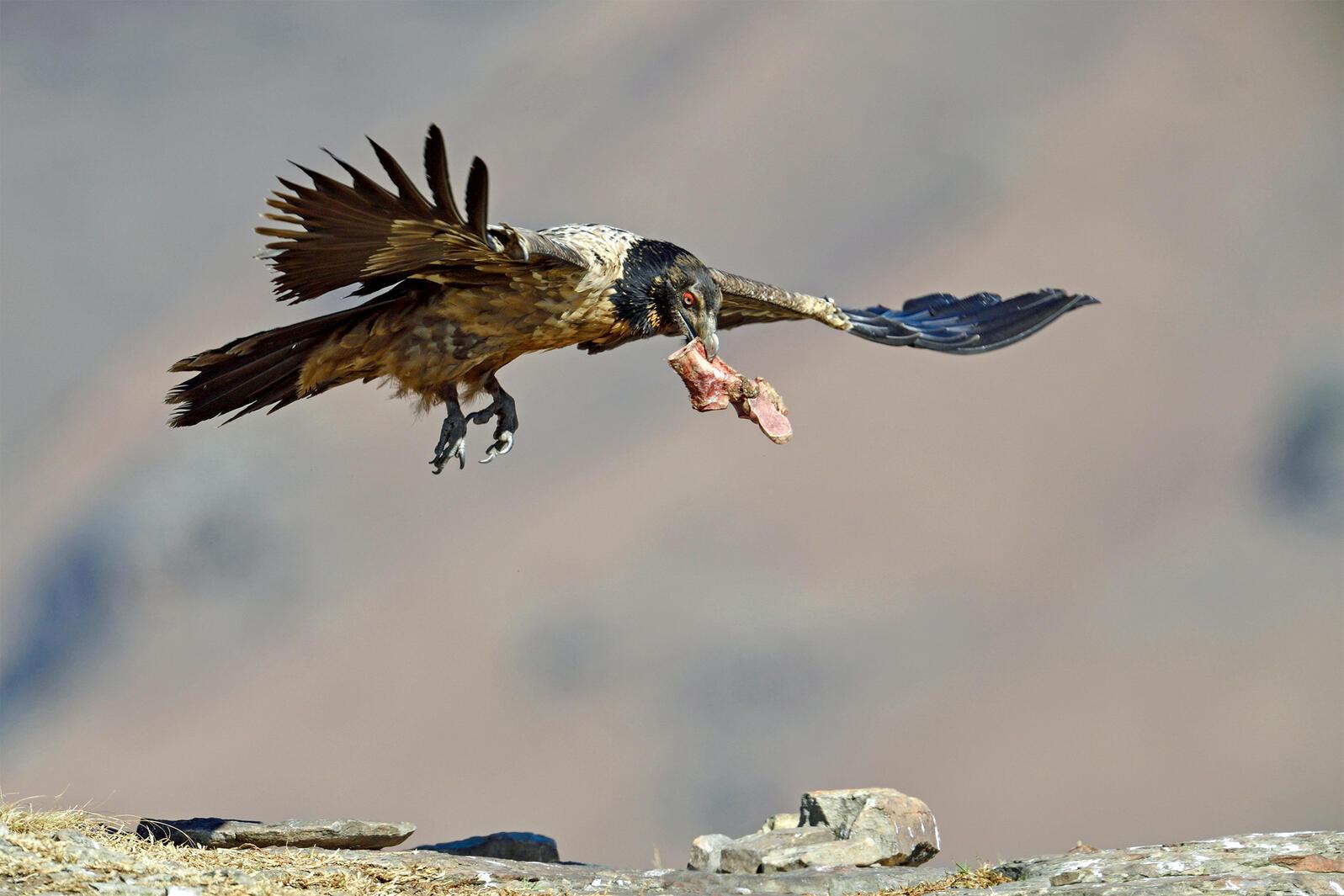 Bearded Vulture. Winfried Wisniewski/Alamy