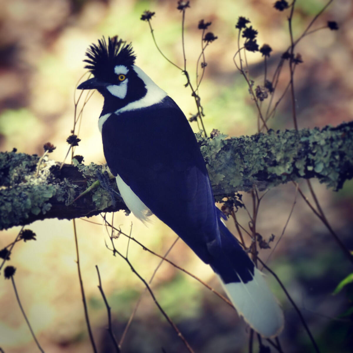 A Tufted Jay pauses in the Tufted Jay Preserve. Noah Strycker