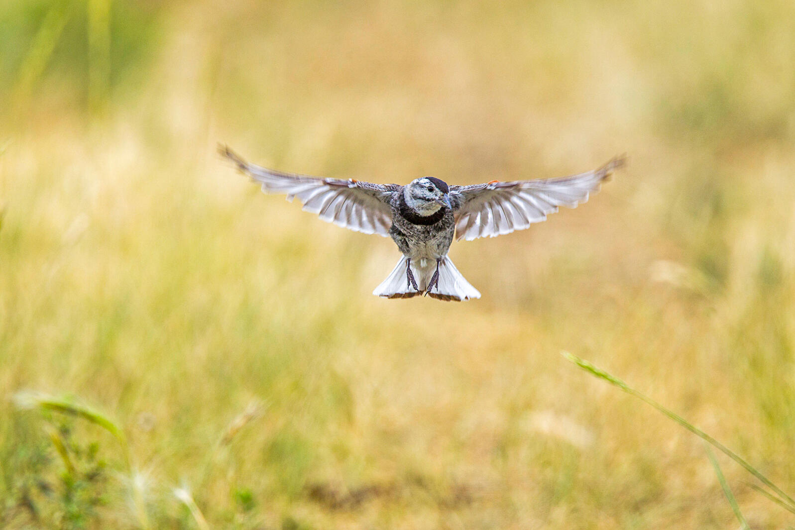 Thick-billed (formerly McCown's) Longspur. Rick & Nora Bowers/Alamy