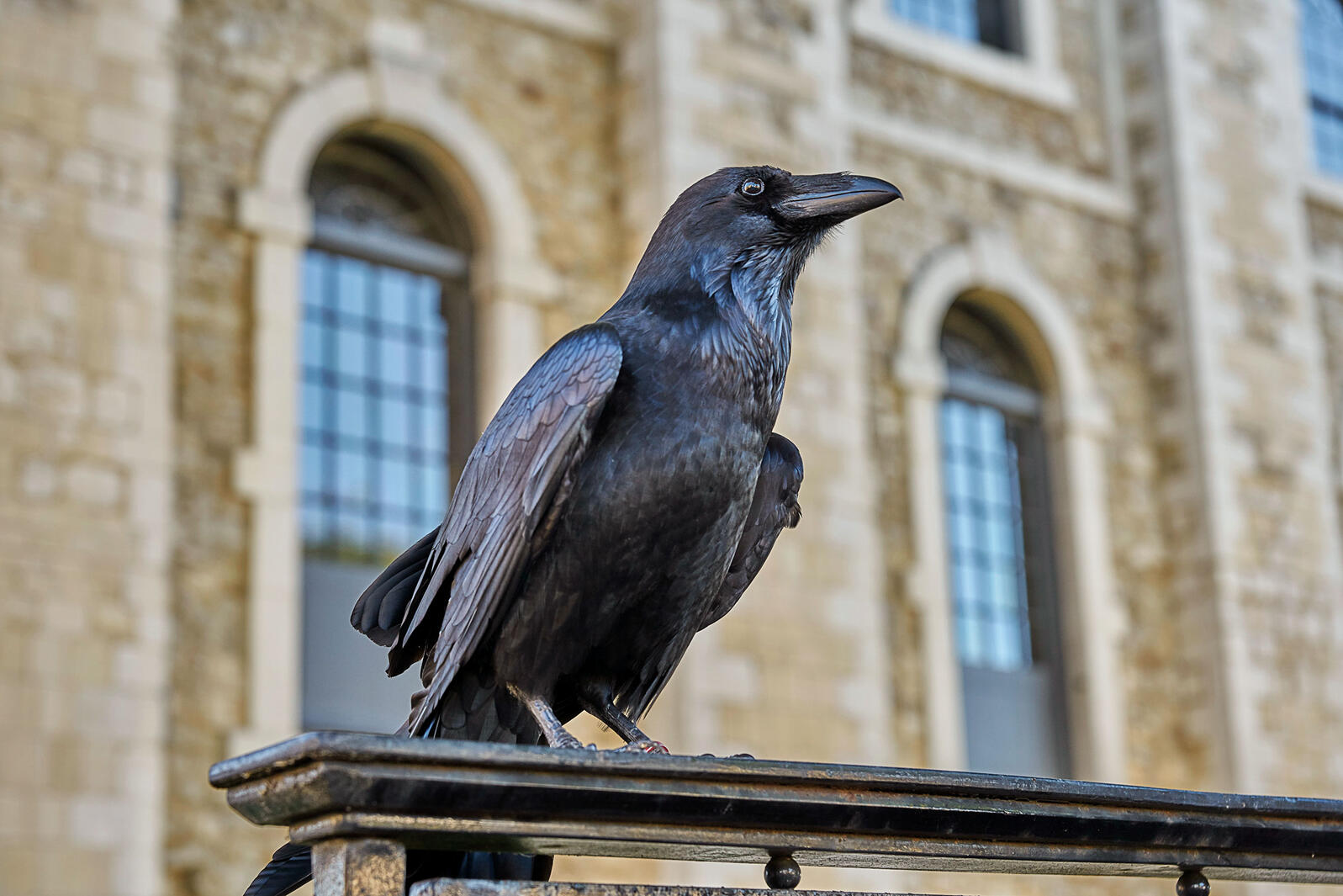 One of the Tower of London's seven Common Raven residents. Marc Zakian/Alamy