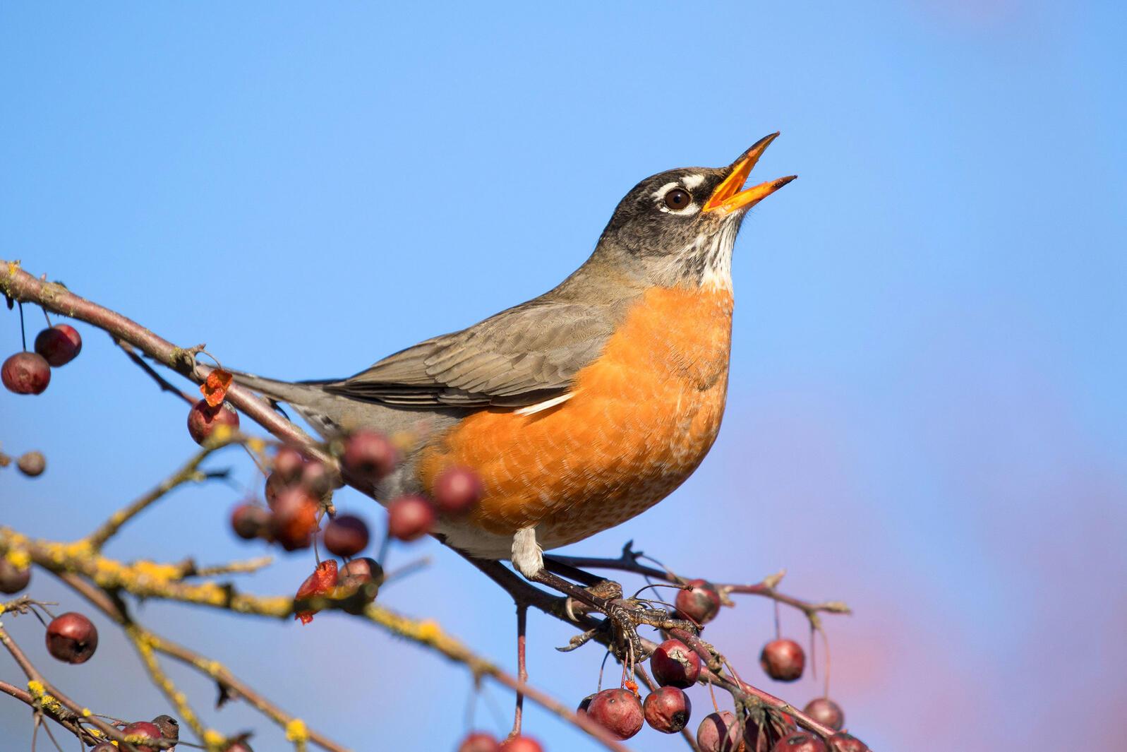 American Robin. George Ostertag/Alamy