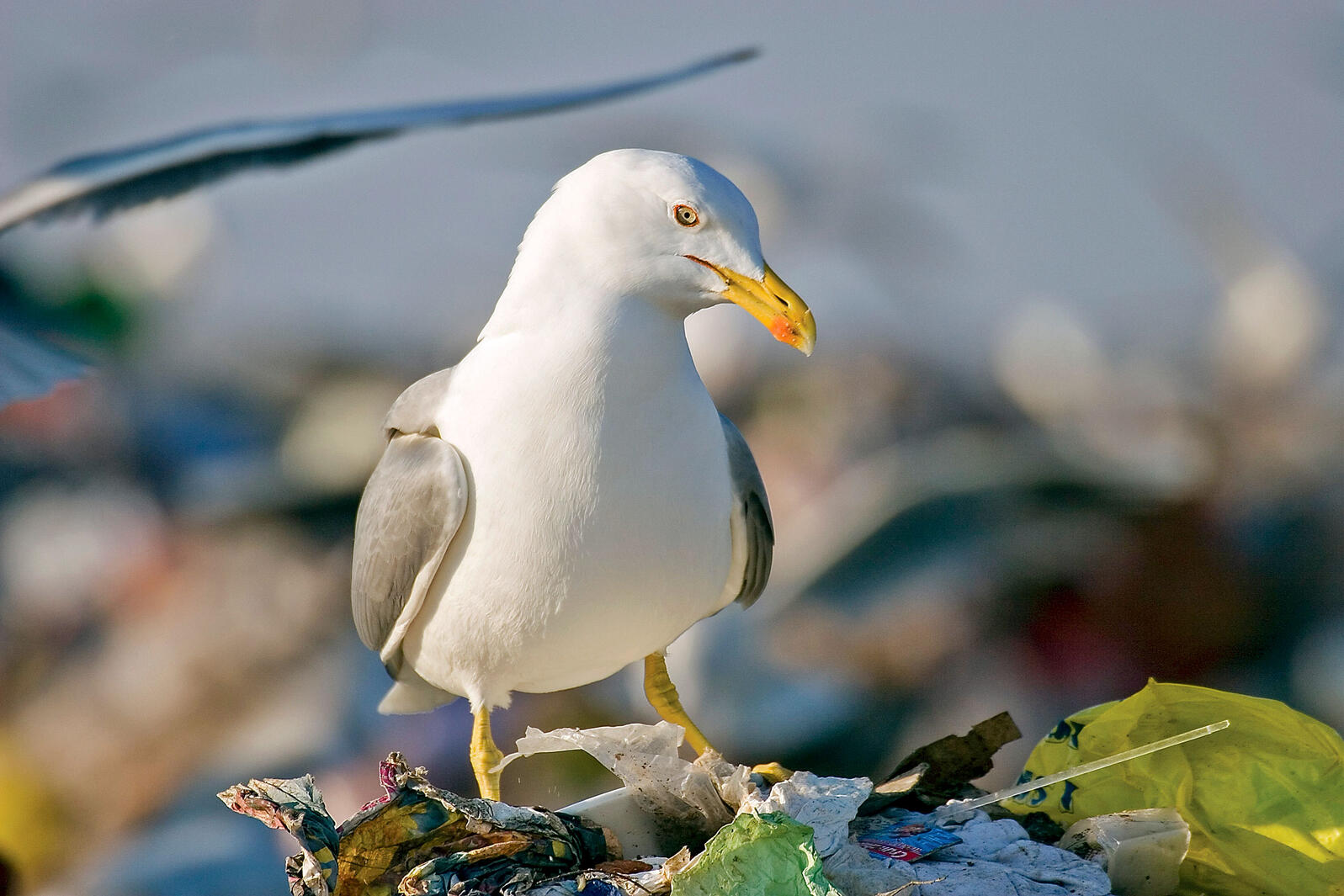 The Yellow-legged Gull is a European and African species that was once considered to be a kind of Herring Gull. Like its counterpart, it forms large nesting colonies, flocks to dumps, and pisses a lot of people off. Goran Šafarek/Alamy